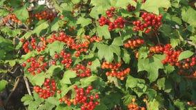 Rote Beeren von Viburnum auf Bush stock video