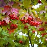 Rote Beeren von Viburnum auf einer Niederlassung im Herbst Lizenzfreies Stockbild