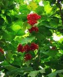 Rote Beeren von Viburnum auf grünem Blatthintergrund Lizenzfreies Stockbild