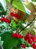 Rote Beeren von Viburnum auf grünem Blatthintergrund Stockfotos