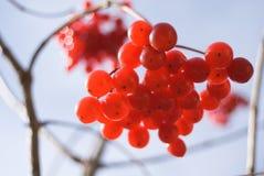 Rote Beeren von Viburnum (Pfeilholz) Stockbild