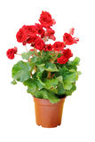Rote Begonien-Blume Stockbilder