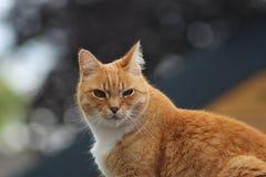 Rote behaarte Katze, welche die Kamera betrachtet lizenzfreie stockfotos