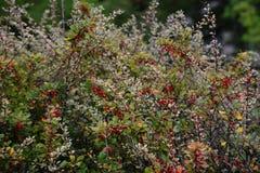 Rote Berberitzenbeerbeeren auf einem Busch mit grünem orange gelbem Herbstlaub Berberis thunbergii lizenzfreie stockfotos
