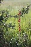Rote berrie Halskette stockbild