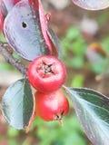 Rote berris Lizenzfreies Stockfoto