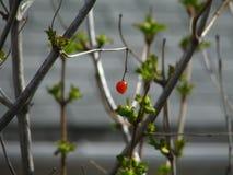 Rote Berry Remains lizenzfreie stockbilder