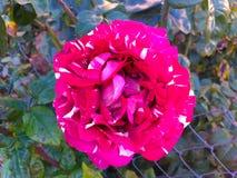 Rote beschmutzte Rose des schönen Tigers, Klassen-Abrakadabrahintergrund stockbild