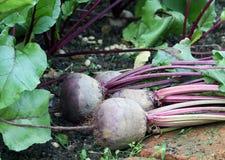 Rote-Bete-Wurzeln der frischen Früchte Stockfotografie