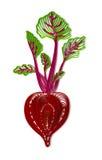 Rote-Bete-Wurzeln Illustration Stockbild