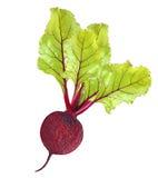 Rote-Bete-Wurzeln mit Blättern Lizenzfreies Stockfoto