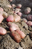 Rote Biokartoffeln Lizenzfreie Stockfotos