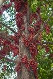 Rote birmanische Traube Stockfotografie