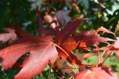 Rote Blätter Lizenzfreies Stockfoto