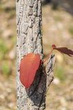 Rote Blätter auf Mitte des Baums lizenzfreie stockfotos