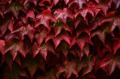 Rote Blätter der wilden Traube mit Wasser fällt Lizenzfreie Stockfotos