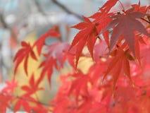 Rote Blätter des Acer-Rubrum, japanischer Ahornbaum Stockfoto