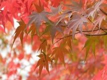 Rote Blätter des Acer-Rubrum, japanischer Ahornbaum in Südkorea Stockbilder