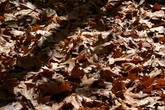 Rote Blätter des Ahorns im Sonnenlicht stockfotografie