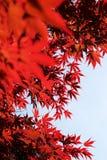 Rote Blätter des Frühlinges lizenzfreie stockfotos