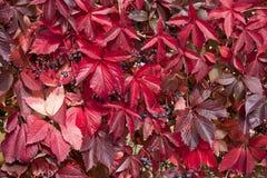 Rote Blätter des Herbstes der wilden Trauben Stockfotos