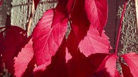 Rote Blätter des Herbstes und eine verwitterte Wand stock video