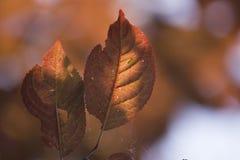 Rote Blätter des Herbstes, unvollständige Blätter, Sonnenuntergang lizenzfreies stockfoto