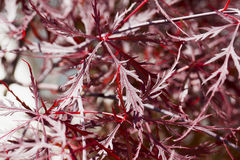 Rote Blätter von Acer Lizenzfreie Stockfotos