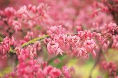 Rote Blätter von Acer-palmatum Stockfotografie