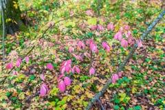 Rote Blätter von Euonymus im Herbstwald Stockbild