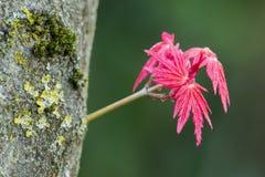 Rote Blätter von japanischer Ahorn Acer-palmatum Stockfotografie