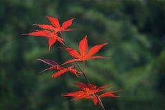 Rote Blätter von japanischer Ahorn Acer-palmatum Stockfotos