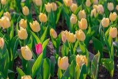 Rote blühende Tulpe unterscheidet sich von den vielen blühenden Tulpen des Gelbs Lizenzfreies Stockfoto