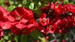 Rote Blüten Makro stock video footage