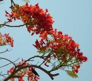 Rote Blütenpfaublume Stockfotografie