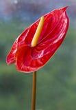 Rote Blütenschweifblume Stockbild