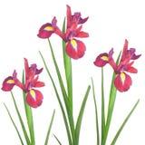 Rote Blenden-Blumen-Schönheit Stockfotos