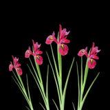 Rote Blenden-Blumen-Schönheit Lizenzfreies Stockbild