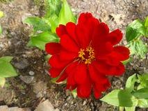 Rote Blume 1 Lizenzfreie Stockfotos