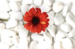 Rote Blume Lizenzfreie Stockbilder