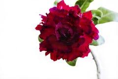Rote Blume Adenium obesum Blüte Getrennt auf weißem Hintergrund Stockfotos