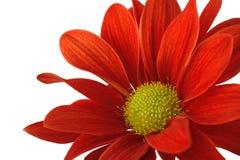 Rote Blume allein auf einem weißen Hintergrund Stockbilder