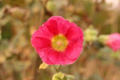 Rote Blume auf dem Gebiet Lizenzfreie Stockfotos