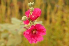 Rote Blume auf dem Gebiet Stockbilder