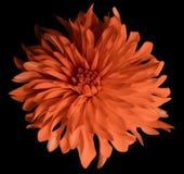 Rote Blume auf einem schwarzen Hintergrund lokalisiert mit Beschneidungspfad nahaufnahme große rauhaarige Blume Lizenzfreie Stockfotos