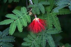 Rote Blume auf grünen Blättern Stockbild
