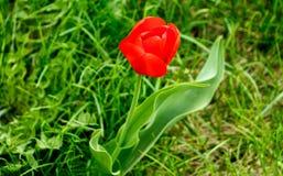 Rote Blume auf Hintergrund des grünen Grases Stockfotografie