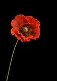 Rote Blume auf schwarzem Hintergrund Lizenzfreies Stockbild