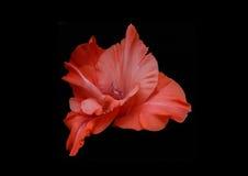 Rote Blume auf schwarzem Hintergrund Stockbilder