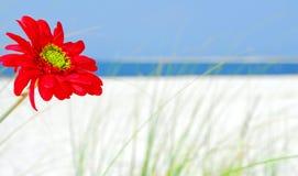 Rote Blume auf Strand Lizenzfreie Stockfotografie